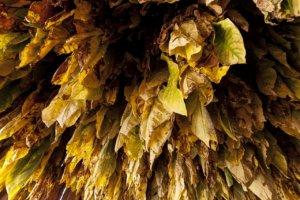 Hojas de tabaco Burley