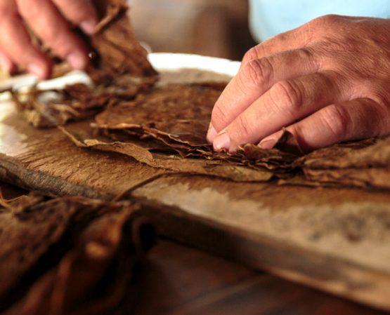 Tabaco: diferentes variedades y tipos de plantas